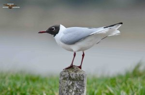Black-headed Gull 2015.jpg