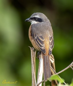 Gray-backed Shrike 灰背伯勞