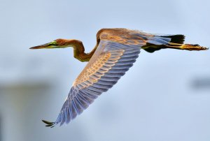 Juvenile Purple Heron