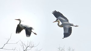 A quarrel in the heron colony