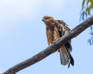 Square-tailed Kite (imm)