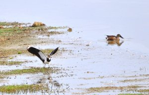 Lapwing and  northern shoveler