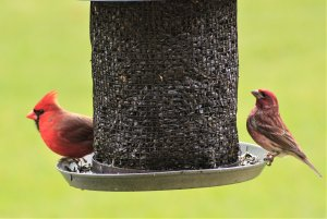 Northern Cardinal & Purple Finch