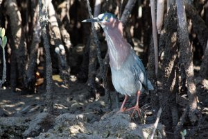 Green heron with a little pot-belly