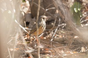 White-browed Antpitta