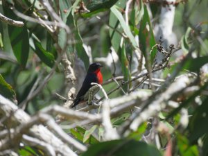 Mistletoebird  male Abattoir Swamp May 2 2021 PGIMG_0011.jpg