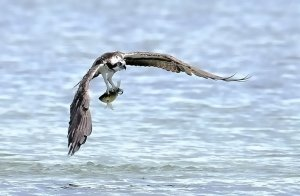 Western Osprey caught a fish