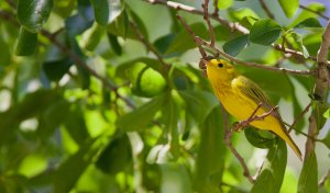 Yellow Warbler (male).jpg