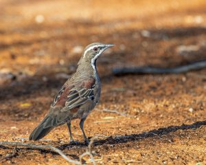 Copperback Quail-thrush