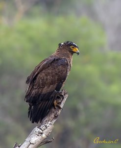 Crested Serpent-Eagle 蛇雕