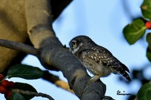 Spotted Owlet (Juv)