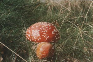 Another Toadstool