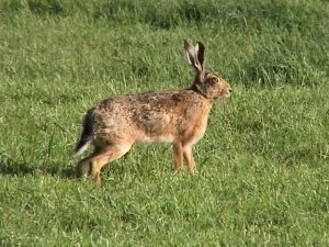 Tame Hare