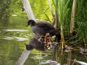 (Common) Moorhen