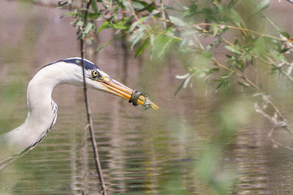 Battle of the Grey Heron and the snake