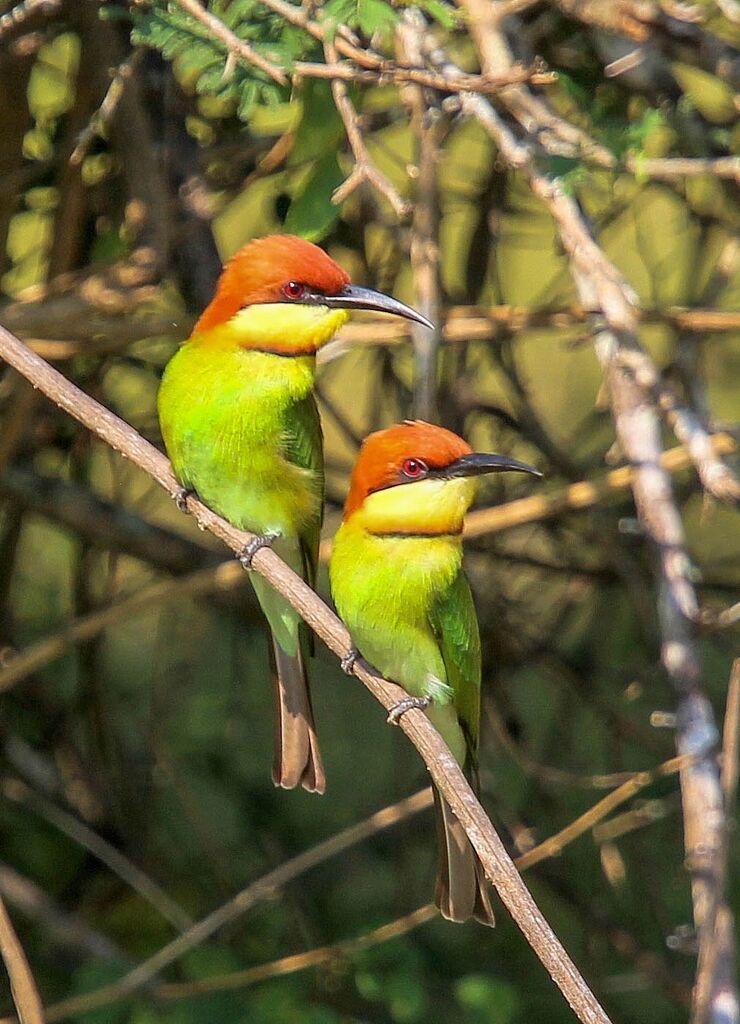 Chestnut-headed Bee-eaters | BirdForum - photo#25