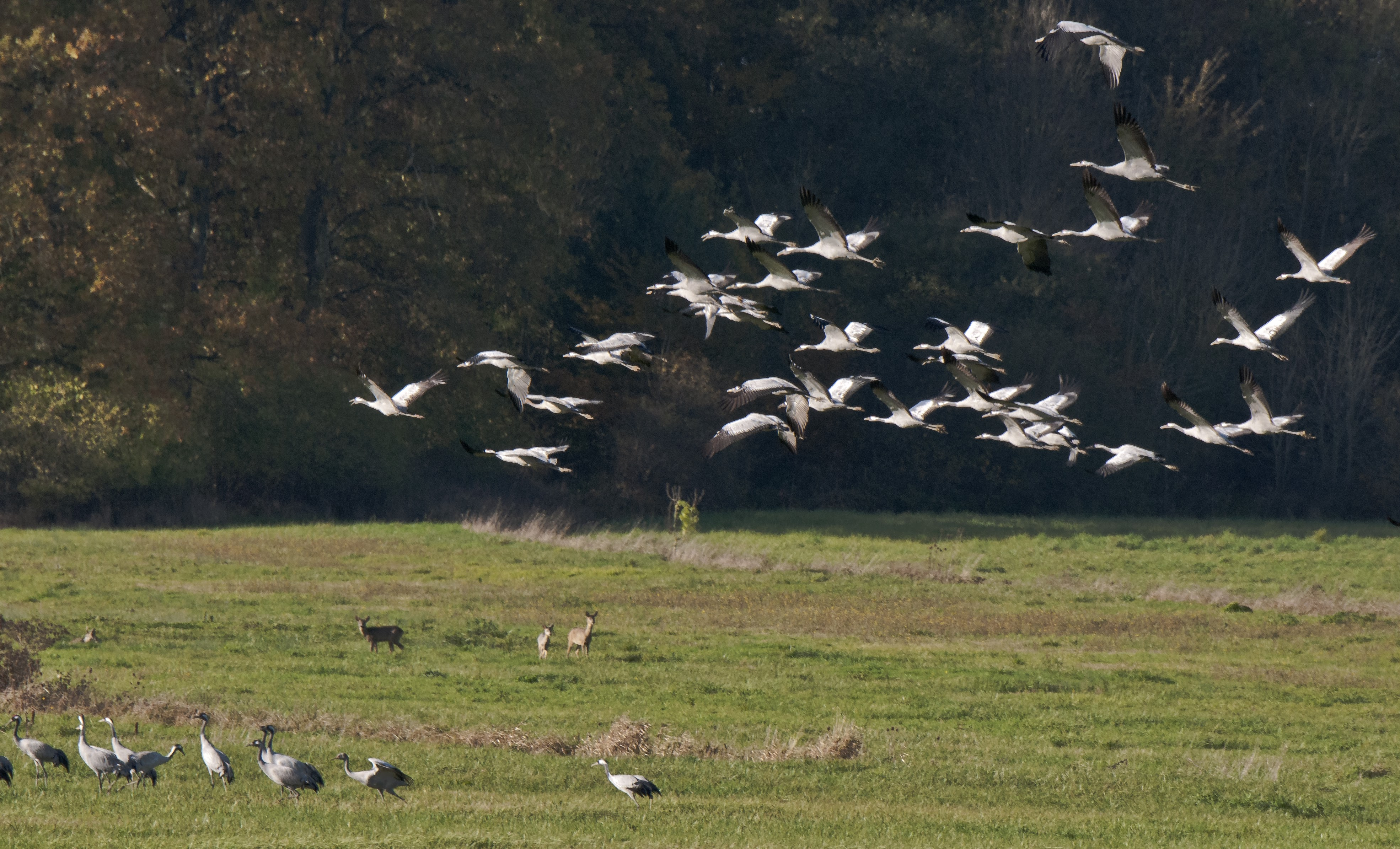 Cranes. Great autumn migration