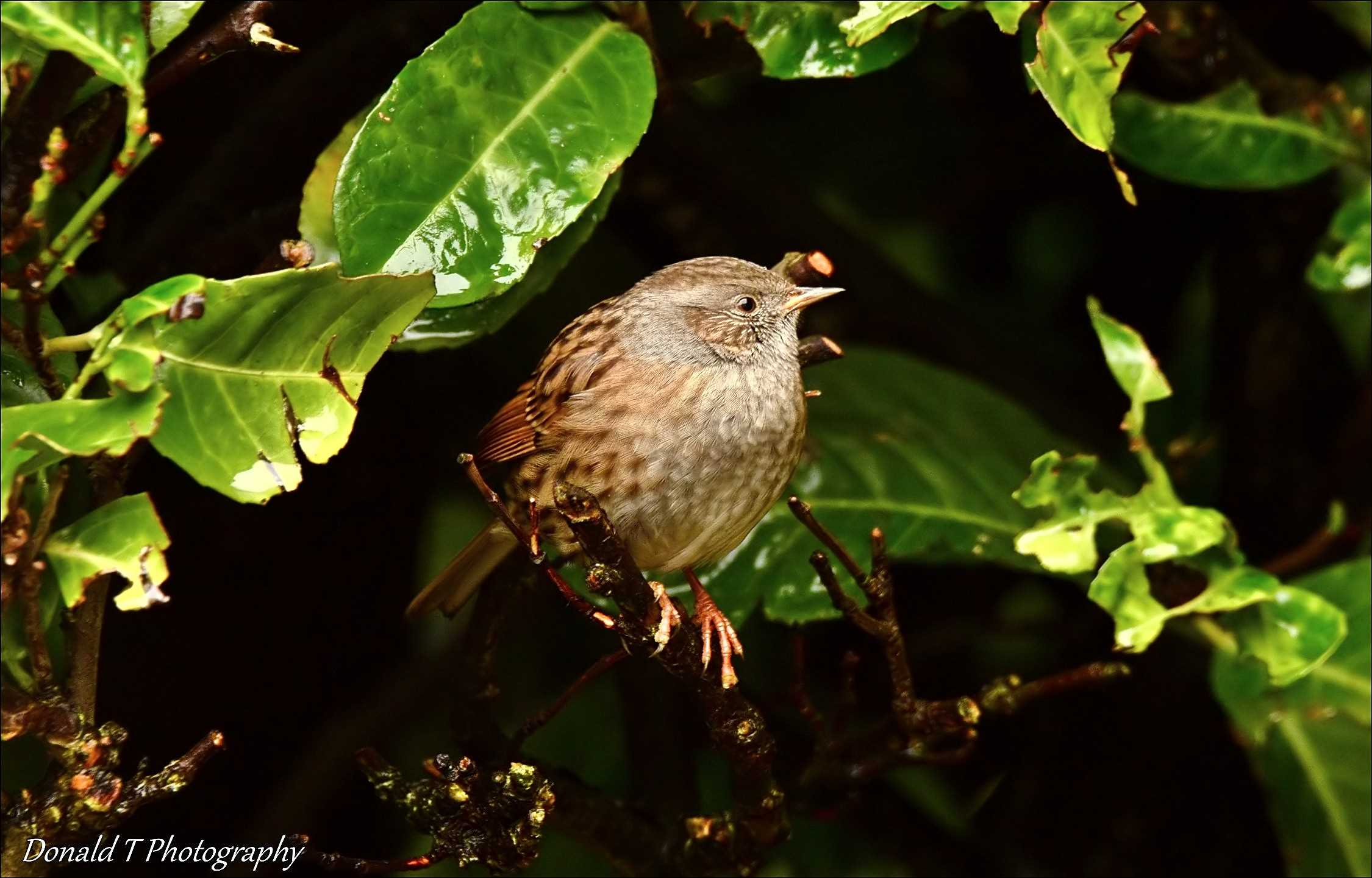 Dunnock sheltering out of the Rain.