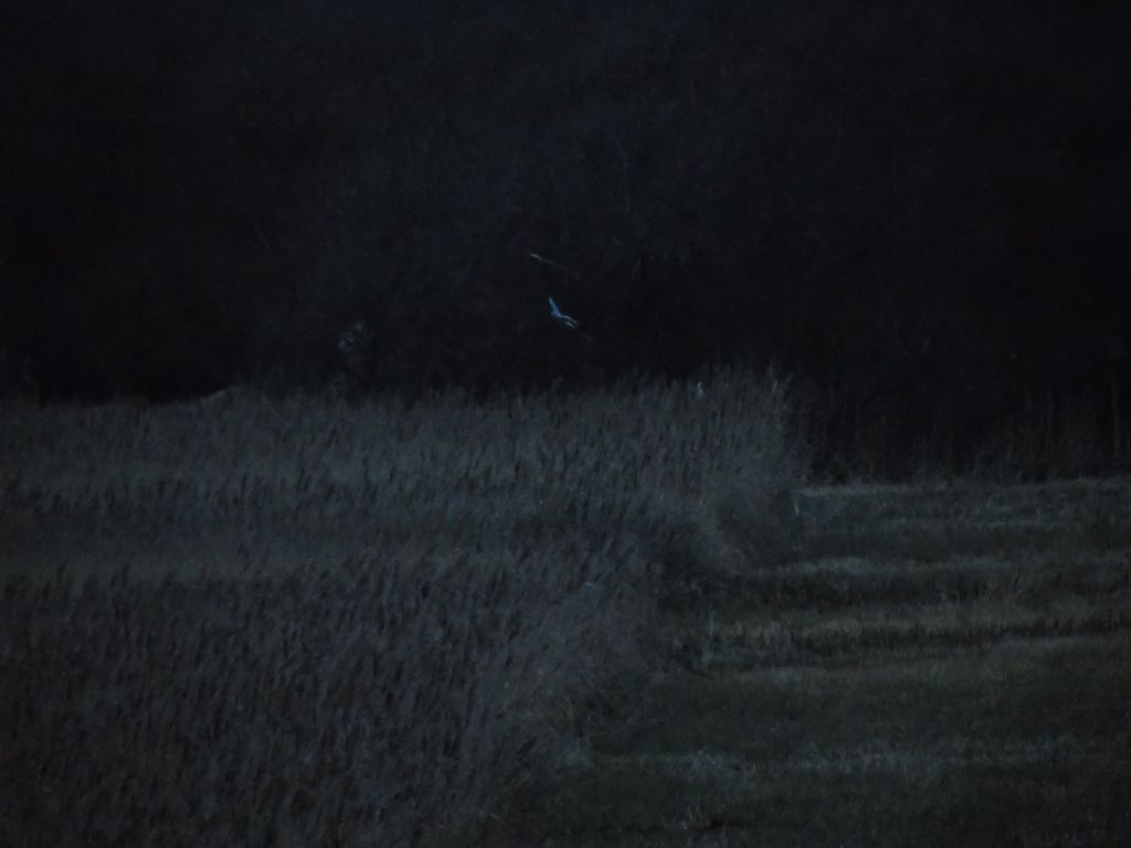 'Ghost of the Fens'- male hen harrier hunting