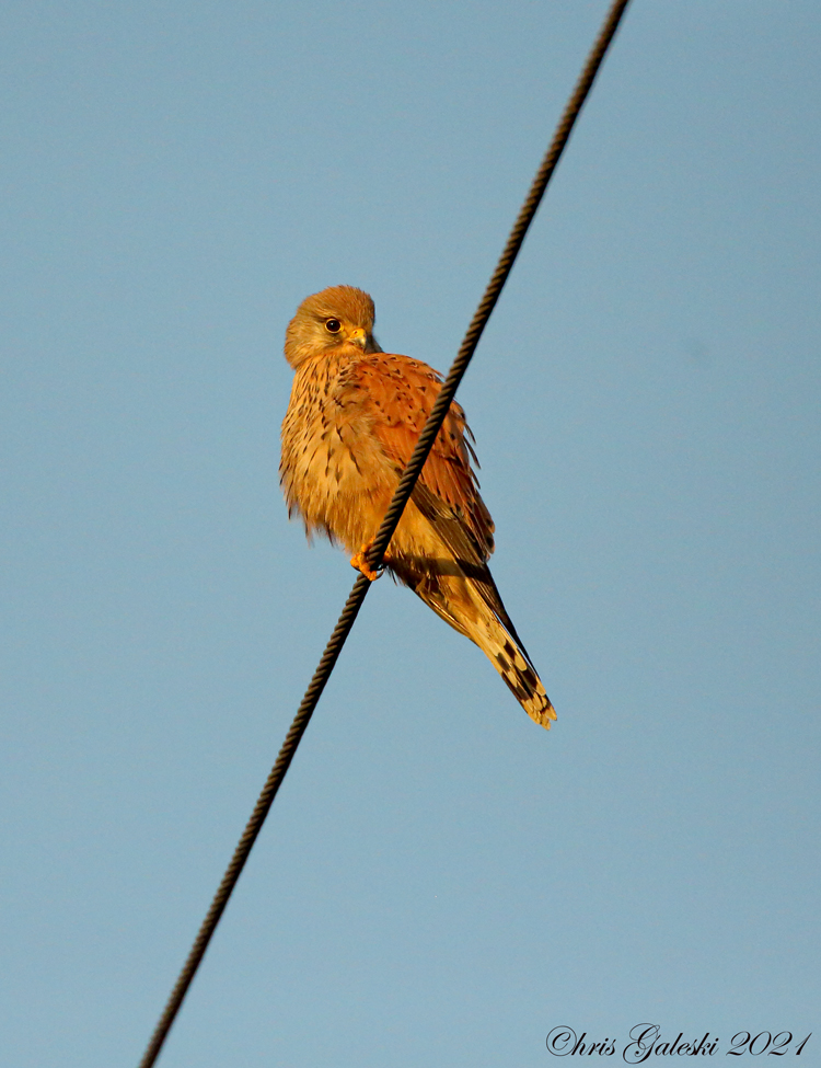 Golden-Hour-Kestrel-2021.jpg