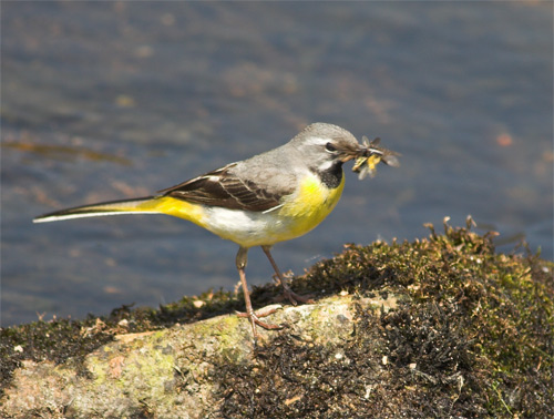 Grey wagtail with lunch