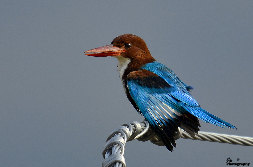 KIngfisher-1
