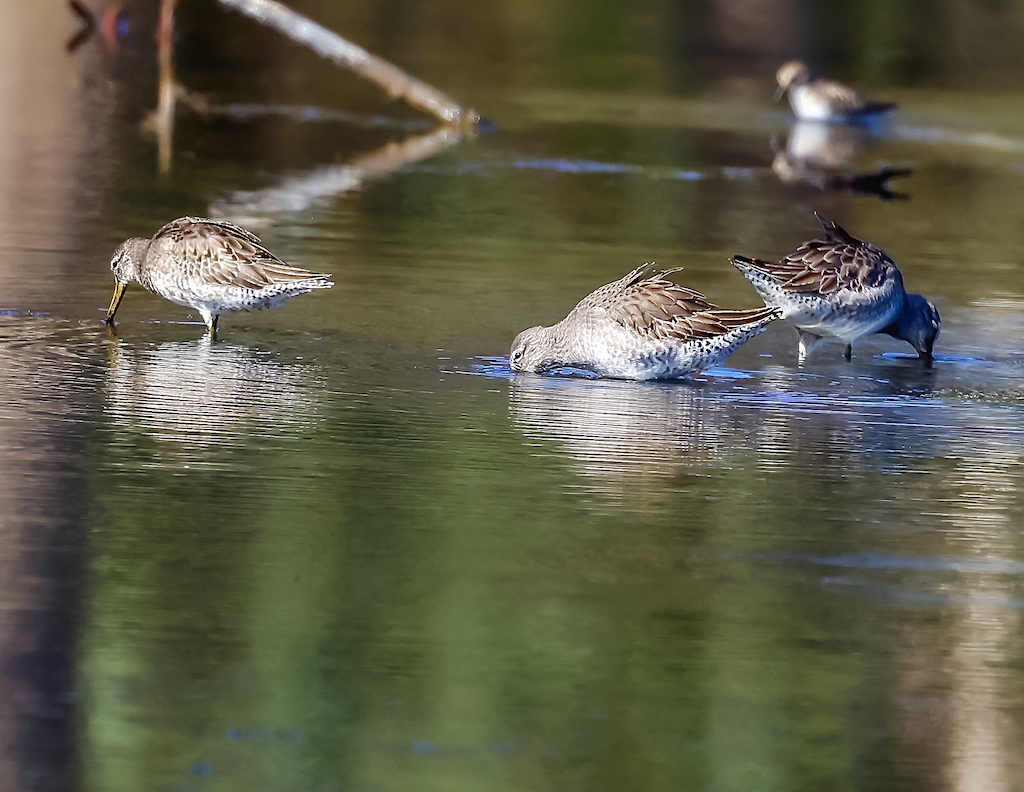 Long-billed Dowitchers.jpg