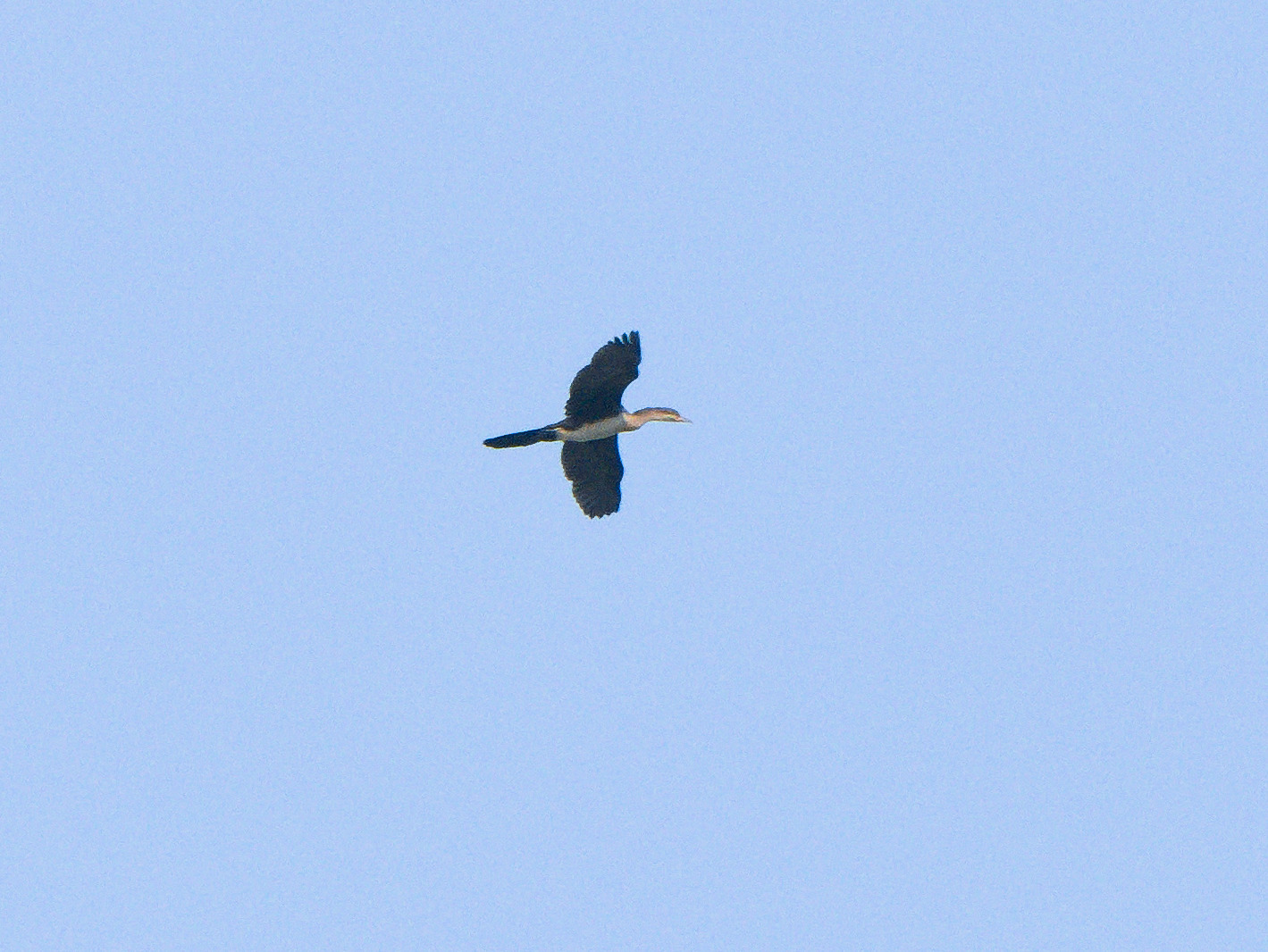 Long Tailed Cormorant 3-1.jpg