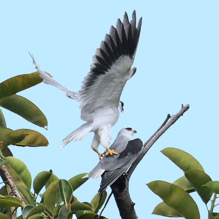 Merry Christmas (Mating Black-winged Kite)