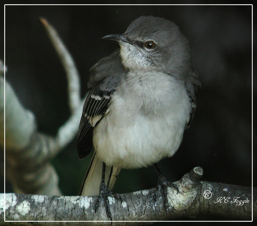 Northern Mockingbird  - Time of day makes this a B & W image.