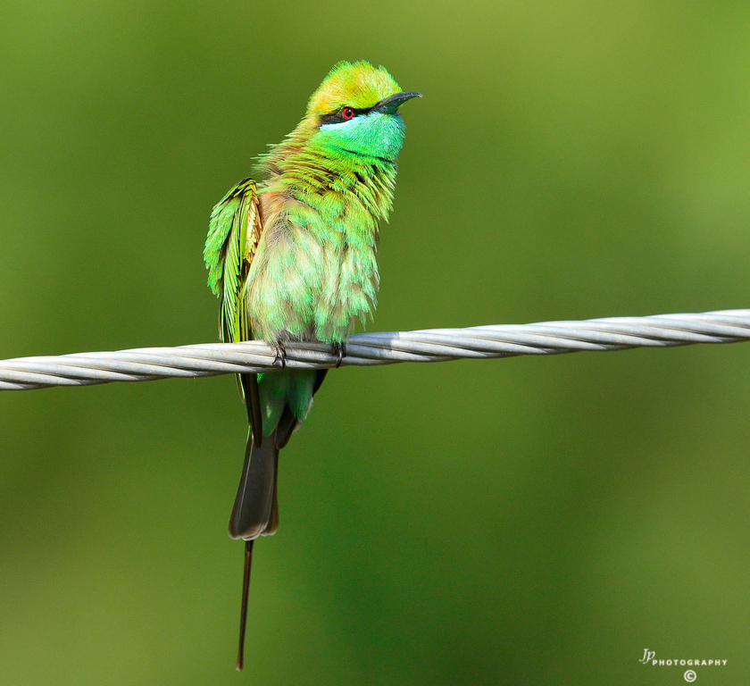 One young Bee-eater scrutinizing me..1