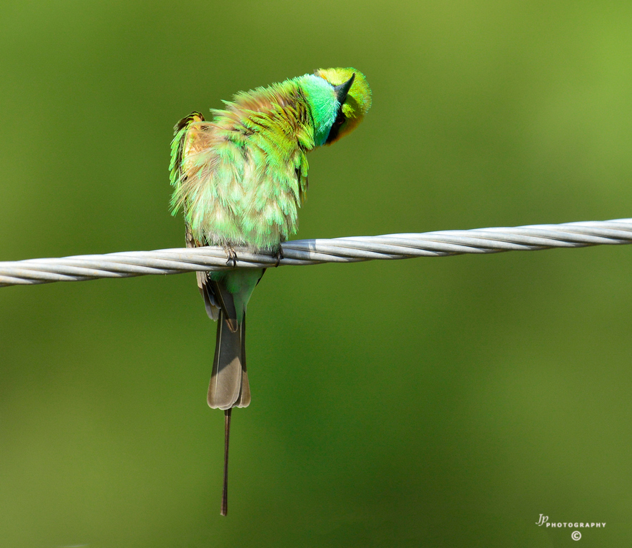 One young Bee-eater scrutinizing me..3