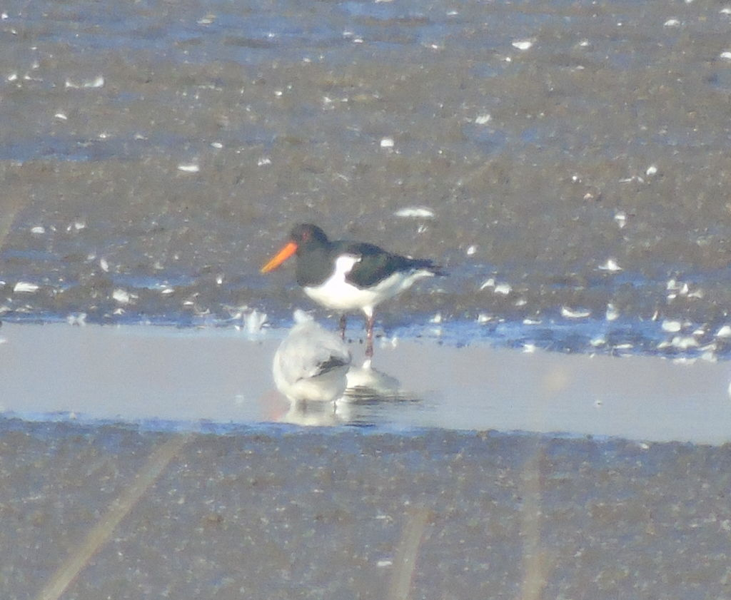 Oystercatcher at Lakenheath fen
