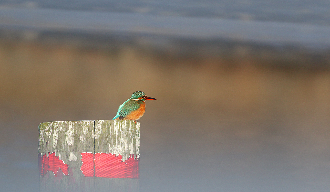 Posted female Kingfisher