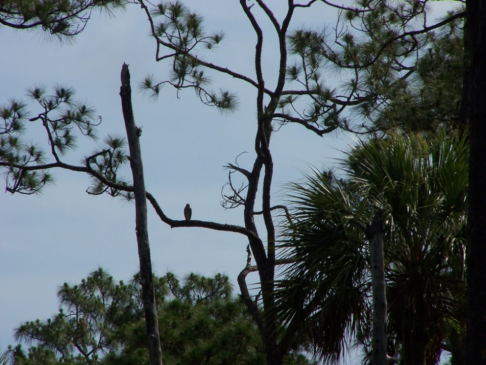 Red-shouldered Hawk from a Distance