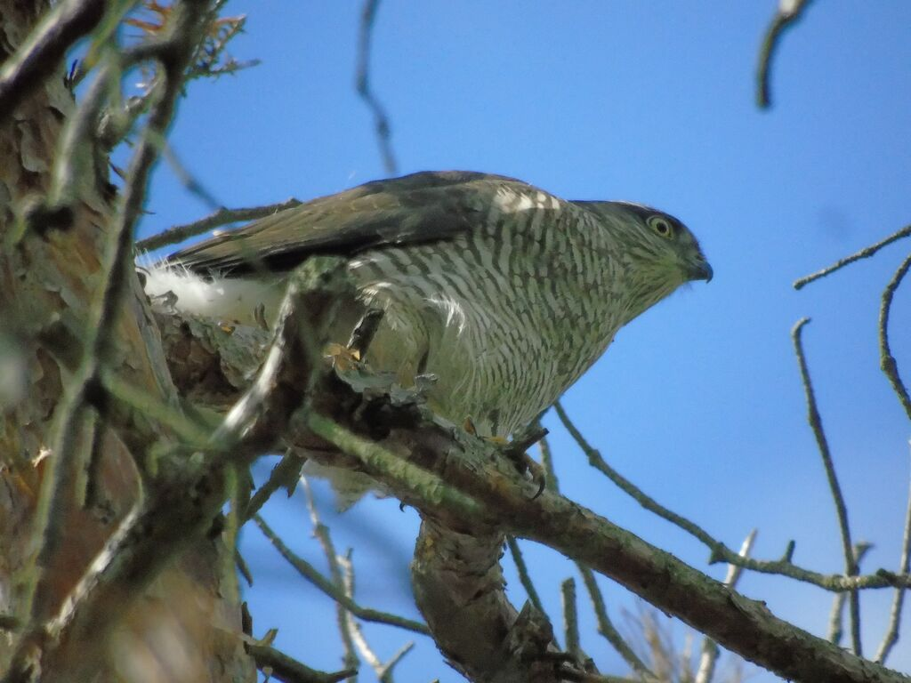 Sparrowhawk mother