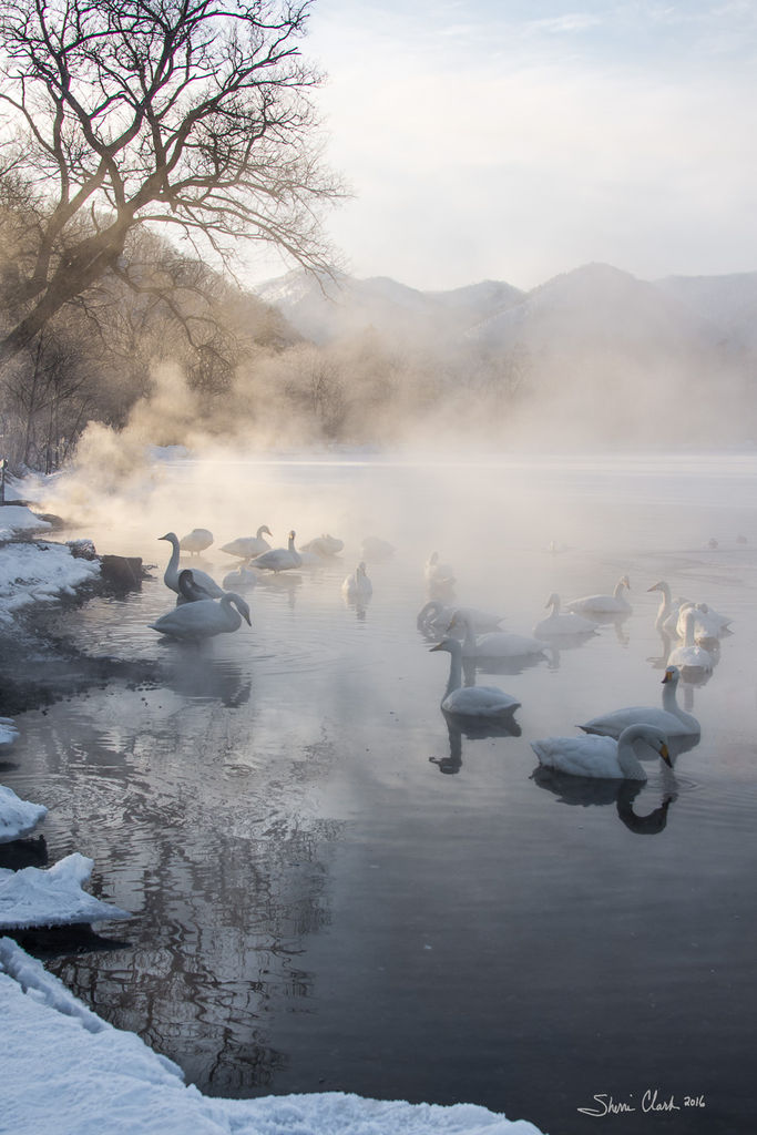 Swans in the early morning