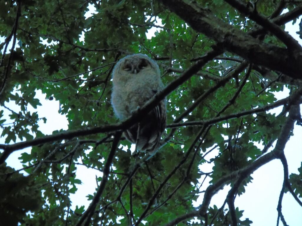 Tawny owlet trying to fall asleep