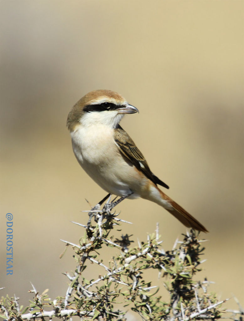 Turkestan/red-tailed Shrike