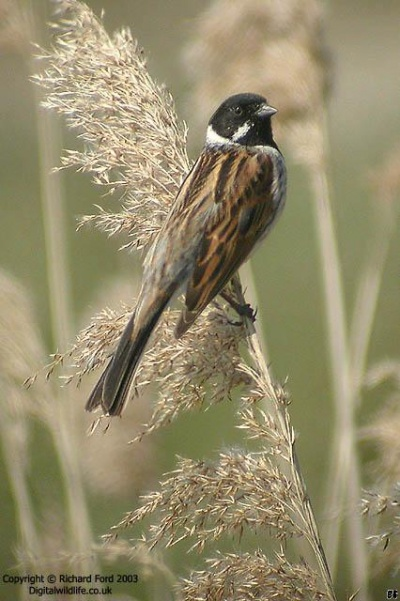 Reed Bunting Birdforum Opus Birdforum